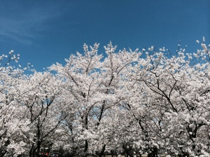 Springtime Cherry Blossoms